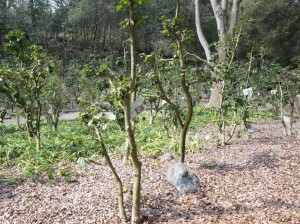 東山植物園椿園