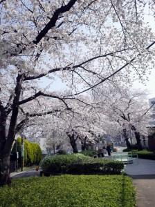 水道みちの桜